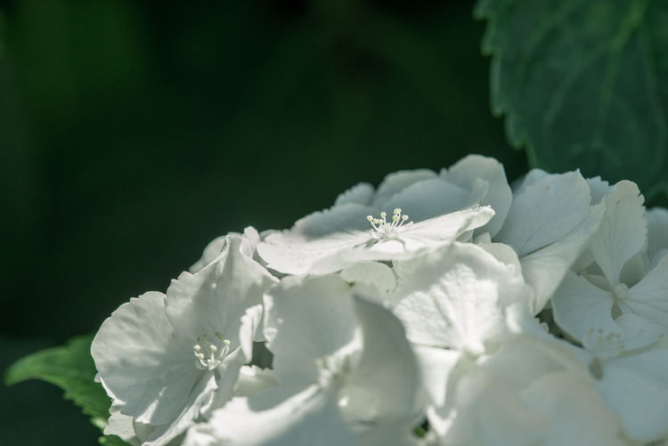 Close-up of white hydrangeas