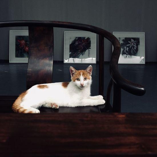 Cat Domestic Cat Pets Domestic Animals Indoors  Mammal Feline Sitting Cat Animal Themes Home Interior
