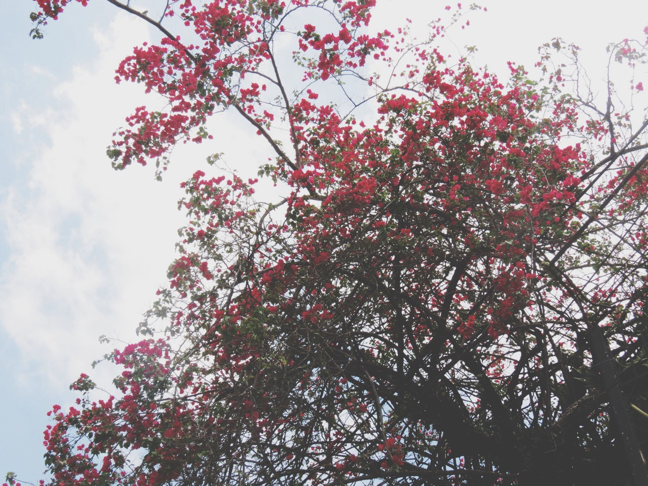 low angle view, tree, sky, growth, branch, nature, beauty in nature, day, cloud - sky, outdoors, no people, tranquility, pink color, red, flower, high section, built structure, leaf, sunlight, cloud