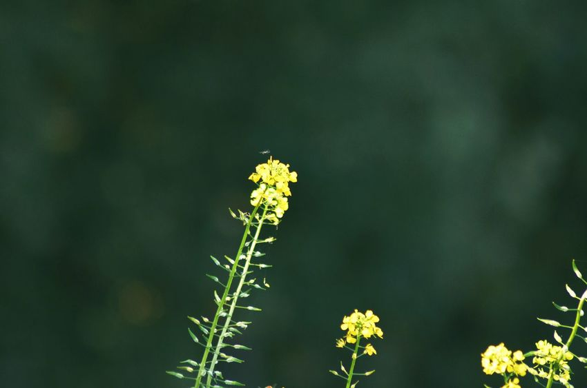 Little Bee Flying Plant Nature Flower Green Color Plant Growth Beauty In Nature No People Outdoors Freshness Yellow Lovelynatureshots Close-up Tranquility Day Springtime Oil Plant Wildlife Fragility One Animal Eye4photography  Culture Petal