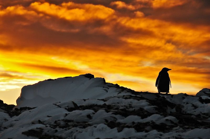 Antártica chilena Antartida Antarctic Snow Nieve Sunset Penguins Pingüinos Cloud - Sky Sky Sunset Beauty In Nature Scenics - Nature One Person Rock Nature Orange Color Silhouette Rock - Object Outdoors