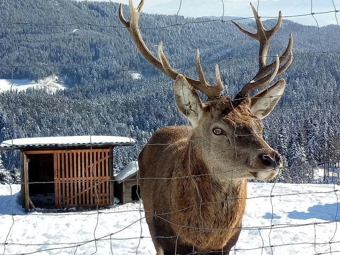 Winterscape Hirsch Wintertime Animal Animal Wildlife Close Up Photography Deer ♥♥ Eyemphotography Hirschgeweih