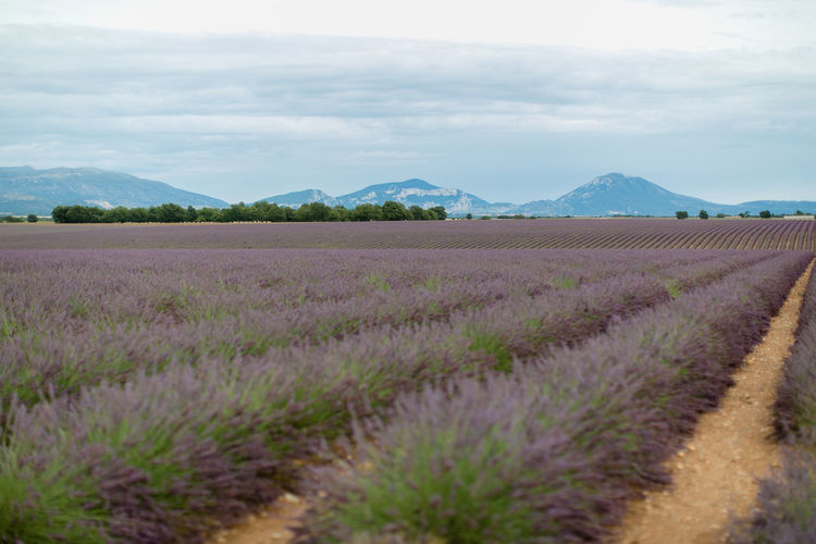 Beautiful lavender field near Valensole in France / Provence Provence Beauty In Nature Environment Flower Flowering Plant Landscape Lavendelfeld Lavender Lavenderflower No People Outdoors
