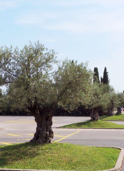 Old Tree Olive Olive Tree Beauty In Nature Branch Day Grass Green Color Growth Landscape Nature No People Outdoors Park - Man Made Space Parking Place Scenics Sky Tranquility Tree