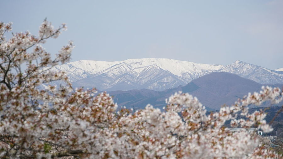 Cherry Blossoms Sakura Background Beauty In Nature Foreground And Background Mountain Mountain Peak Nature No People Outdoors Sakura Blossom Scenics - Nature Sky Snow Snowcapped Mountain Spring Springtime Tranquility