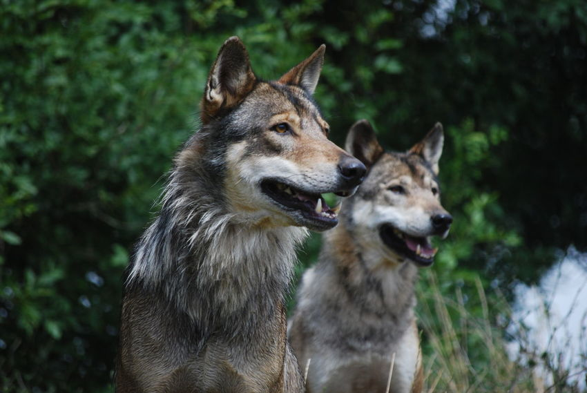 Wolves Alertness Animal Animal Themes Animals France Planete Sauvage Two Animals Wild Animals Wild Animals Up Close Wildlife Wildlife & Nature Wildpark Alte Fasanerie Wolf Wolves Social Life
