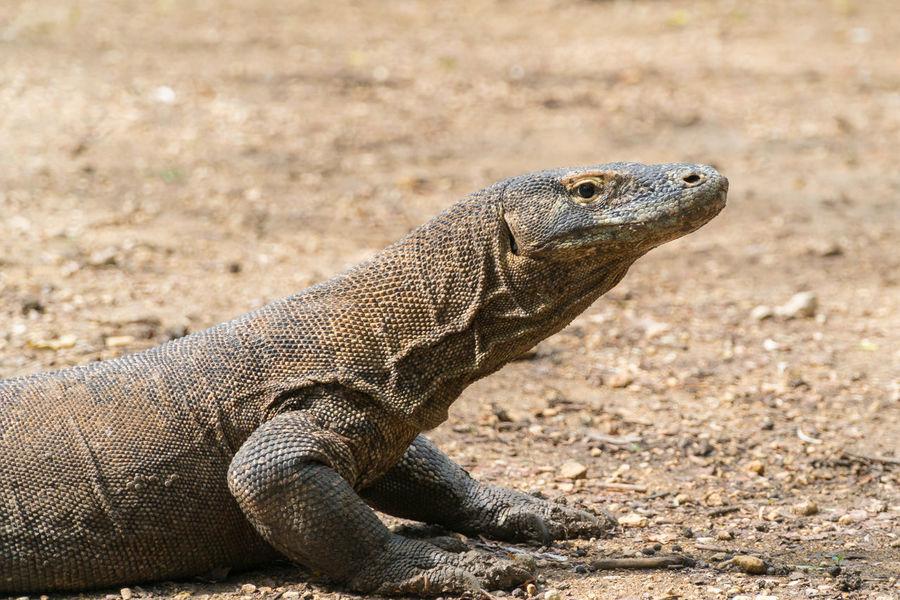 Komodo dragon (Varanus komodoensis) in Komodo National Park, Indonesia. Animals, Island, Komodo Dragon National Park Nature Varanus Komodoensis Conservation, Dragon, Endemic, Indonesia, Komodo Komodo Island Komodo National Park Komodo, Predators, Reptiles Wildlife,