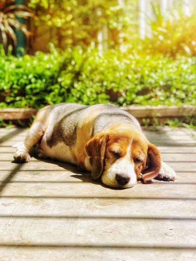 Dog sleeping on footpath during sunny day