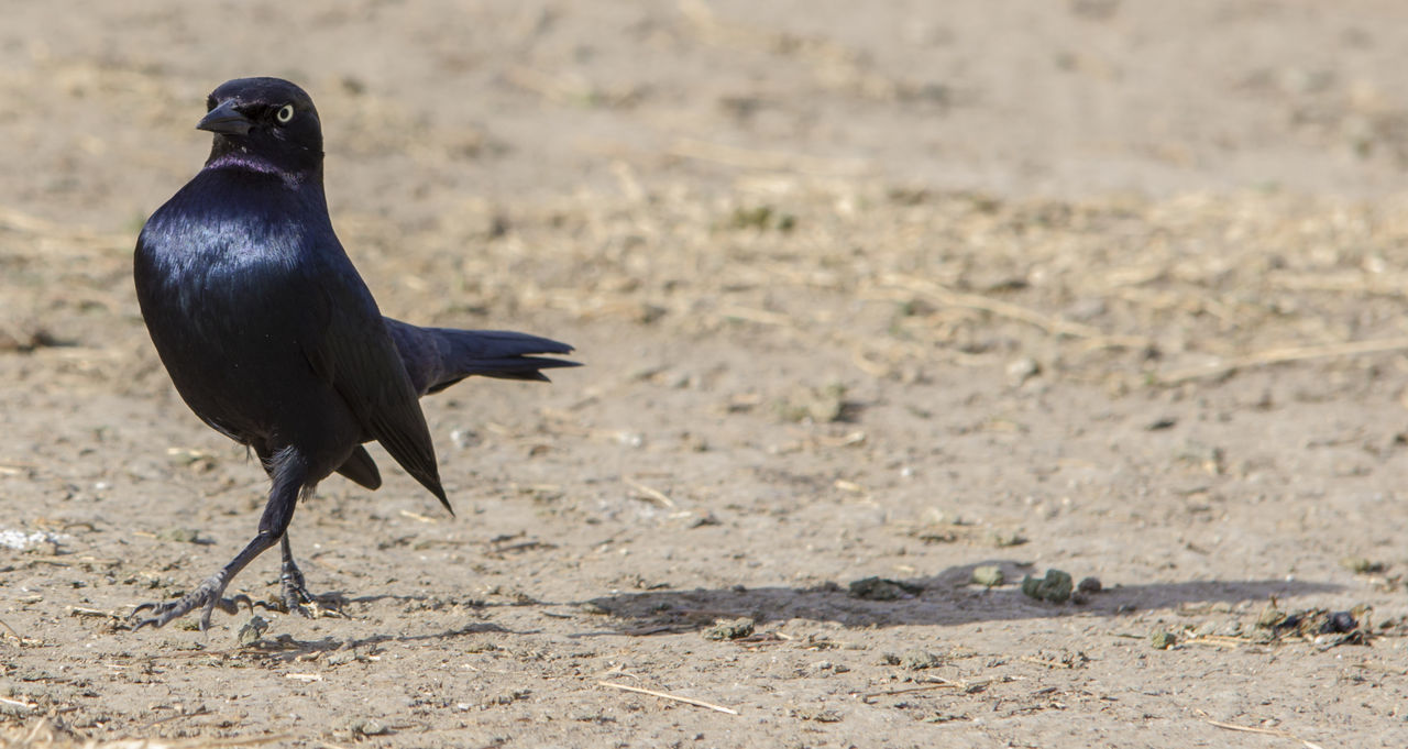 bird, animals in the wild, one animal, animal themes, crow, raven - bird, animal wildlife, black color, day, field, no people, focus on foreground, nature, perching, outdoors, full length, close-up