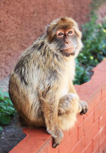 Portrait of monkey sitting on wall