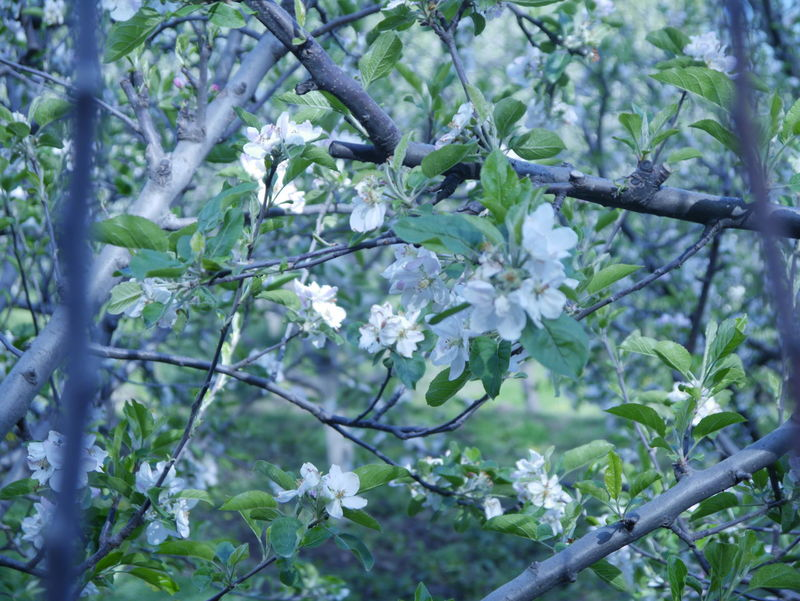 Apple Tree Apple Tree Flowers Apple Trees  Apple Trees Garden Beauty In Nature Branch Day Growth India Travel Kashmir Kashmirdiaries Nature Tree