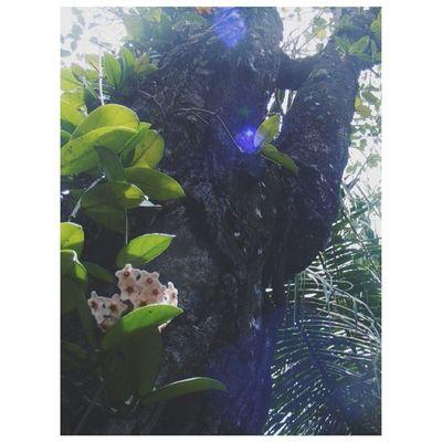 F R I D A Y HoyaCarnosaFlower WaxPlant ChrysophyllumCainito Bark GoodMorning