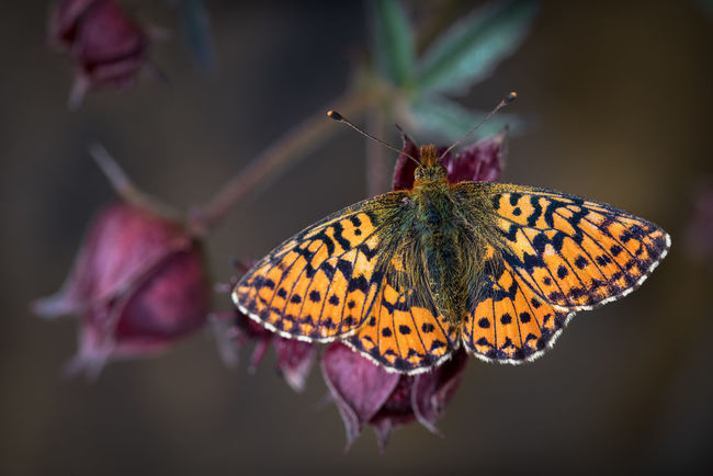 Butterfly on flower Animal Wing Beauty In Nature Butterfly Close-up Flower Focus On Foreground Fragility Insect Insect Photography Macro Photography Macro_collection Natural Pattern Nature Pärlemorfjäril Selective Focus Wildlife Macro Fine Art Photography Showcase July