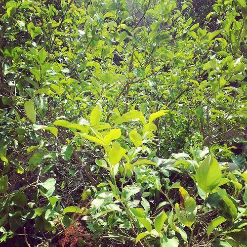 Lemontree Homegrown Homegardening Trees plants Irbid sunny