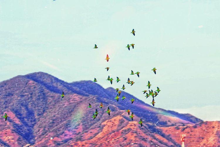 periquitos Bird