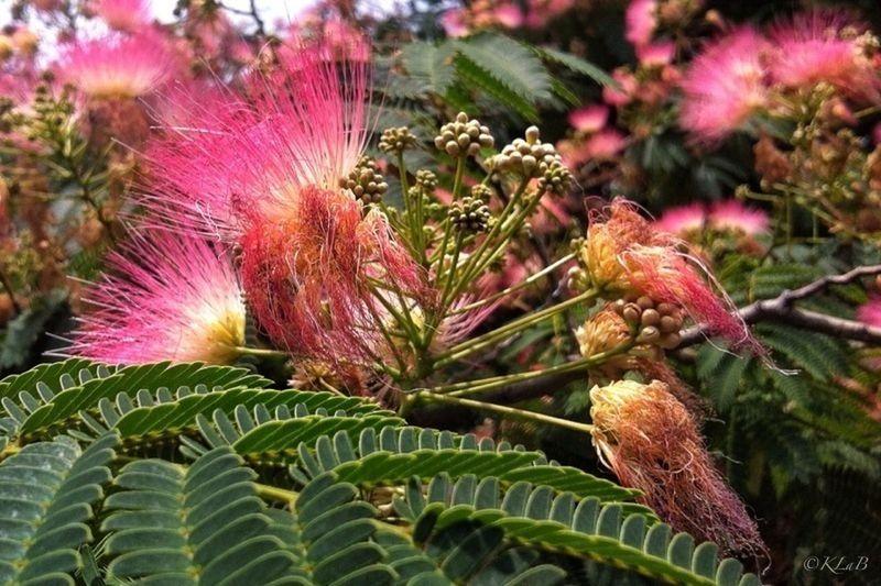 ~Mimosa~ Nature_collection Flowersforfriends EyeEm Nature Lover