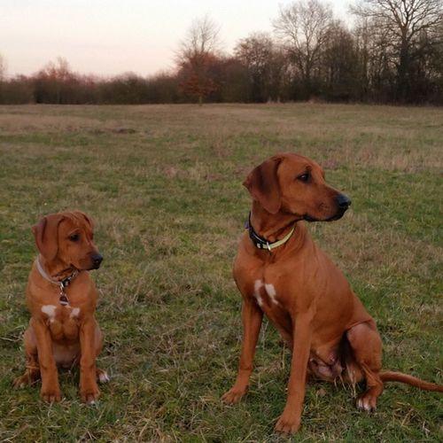 Hmmm... wer kommt da denn? 😊 Rhodesianridgeback Hund Dog Welpen puppies puppy ohana joy love picoftheday