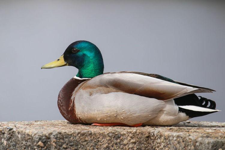 Close-up of mallard duck on lake