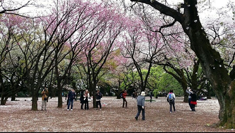 Cherry Blossoms 桜花 Sakura Shinjuku Gyoen National Garden 1500 Cherry Trees 20 000 Trees Spring 2015 Tokyo, Japan Travel Photography Green And Pink