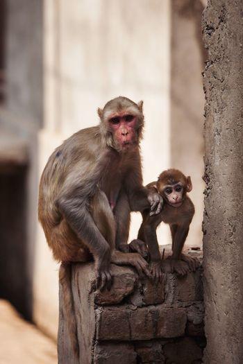 Monkey Family Monkey Monkeys Primate Mammal Animal Wildlife Animals In The Wild Vertebrate Focus On Foreground Group Of Animals Sitting Young Animal Animal Family Baboon