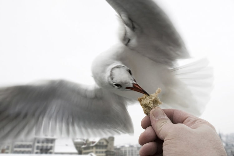Cropped image of hand feeding to seagull with spread wings