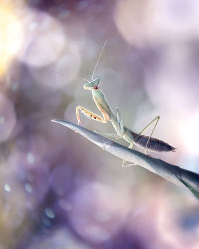 Close-up of baby mantis with colorful bokeh background
