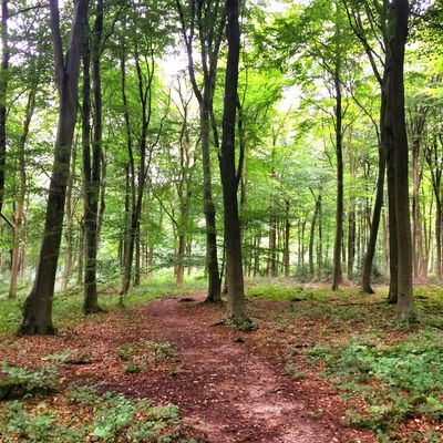 Beech trees woodland, Hampshire , England. Tree Nature Forest Tranquility Beauty In Nature Growth Outdoors Scenics Tree Trunk No People Landscape Tranquil Scene Green Color Grass Day