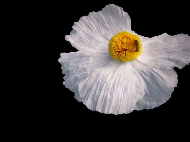 Matilija Poppy Bee Black Background Flower Flower Head Fragility Vulnerability  White Color