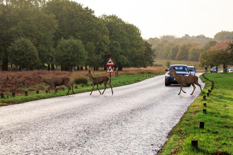 Close-Up Of Deer Crossing Road Against Sky