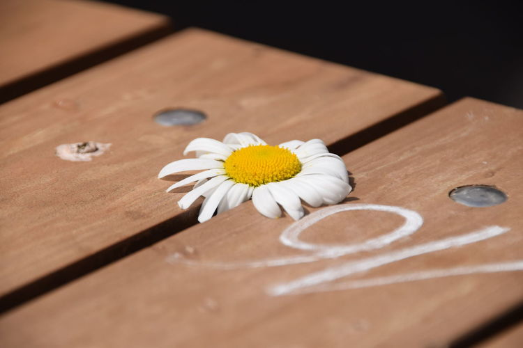 Close-up of white daisy on boardwalk