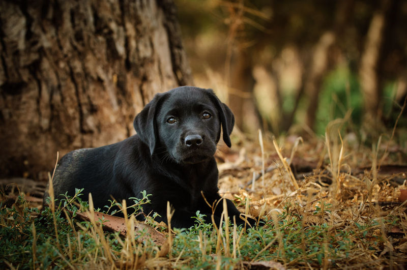 Black Labrador Retriever puppy No People Puppy Purebred Dog One Animal Animal Themes Dog Animal Pets Labrador Retriever Black Labrador Domestic Animals Canine Outdoors Black Color Day Black Labrador Labrador Young Adult Lying Down