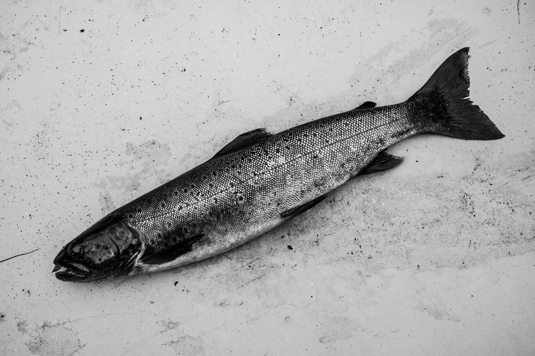 Fish Outta Water Animal High Angle View Fish Vertebrate No People Close-up Seafood Food And Drink Animal Themes Food One Animal Indoors  Still Life Wellbeing Freshness Table Directly Above Raw Food Fine Art Photography Monochrome Blackandwhite