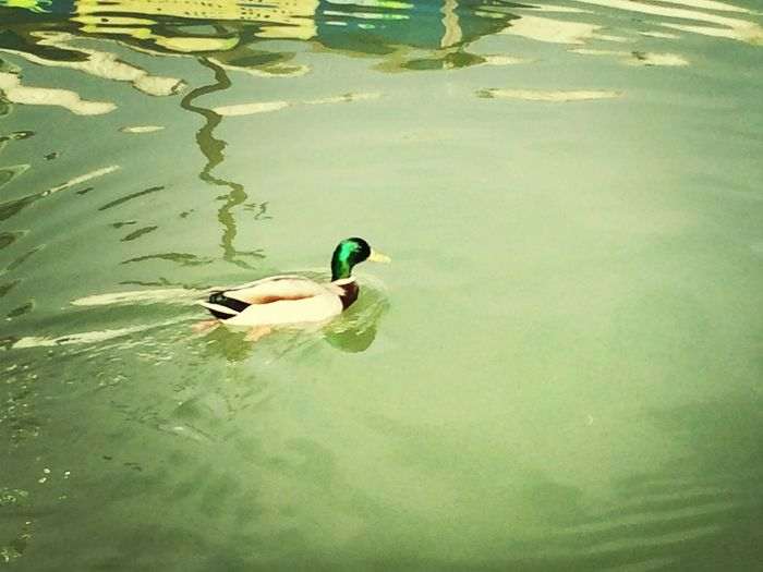 Duck NatureYouGuys