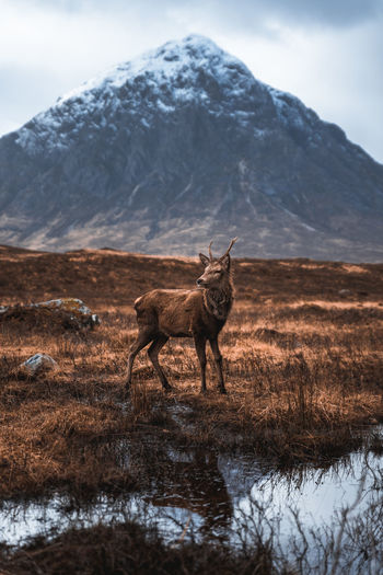 A wild deer in glencoe in the scottish highlands.