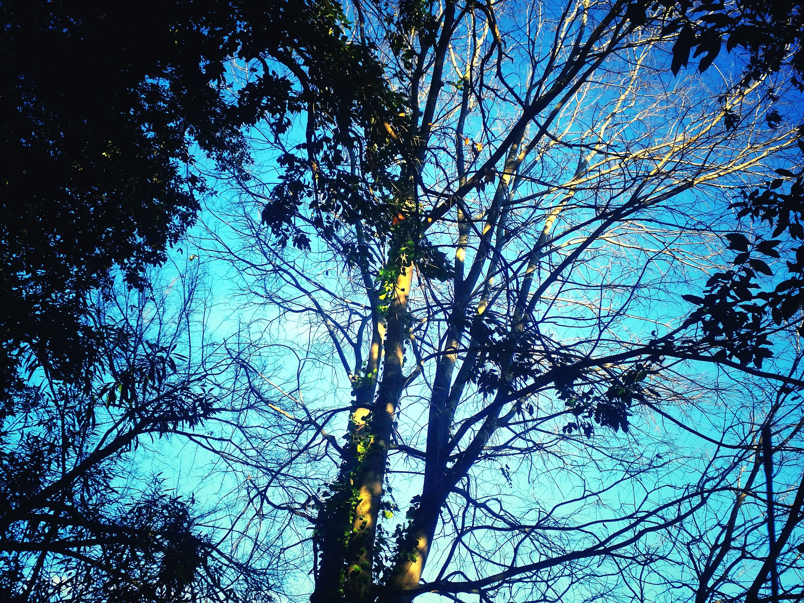 low angle view, tree, branch, sky, growth, nature, blue, tranquility, beauty in nature, bare tree, silhouette, tree trunk, outdoors, scenics, no people, clear sky, day, backgrounds, sunlight, high section