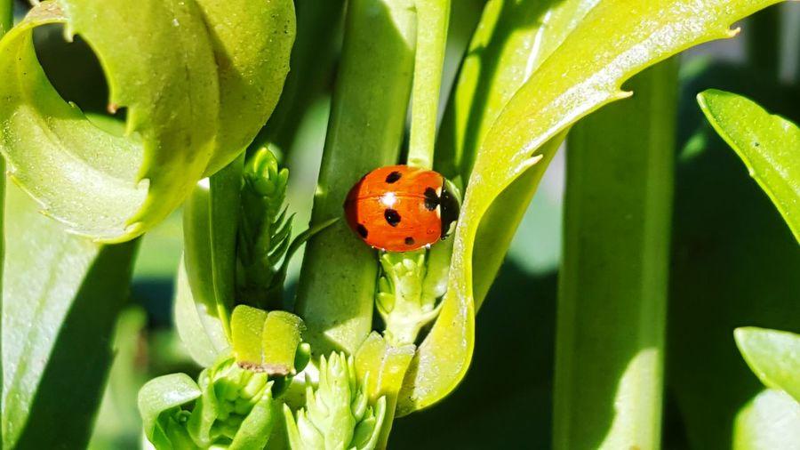 Ladybug😊😊🐞🐞🐞 Ladybug🐞 EyeEmNewHere Spring Colours Spring 2017 Spring Is Coming  Spring Time Coccinelle🐞 Coccinellidae COCC