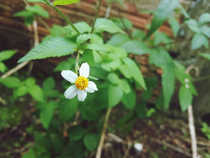 Beautiful little white First Eyeem Photo Flower Nature Beauty In Nature Simple Things In Life Small Flowers White Color White Flower Tiny Flower Beautiful Flower