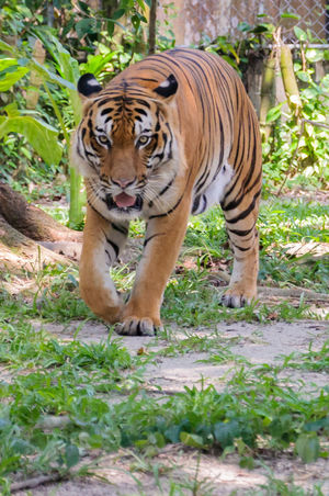 Malayan Tiger (Panthera tigris jacksoni) In Zoo Habitat Animal Themes Animals In The Wild Dangerous Animals Day Feline Forest Mammal Nature No People One Animal Outdoors Safari Animals Stripes Pattern Tiger Tree Wild Wildlife Zoo Zoo Animals  ZOO-PHOTO