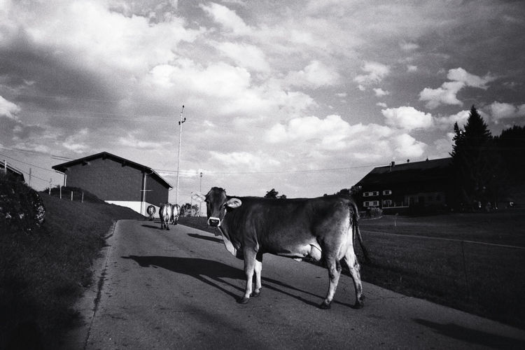 35mm Film Black And White Cloud - Sky Cow Cow Looking At The Camera Nikon FE Germany Bavaria