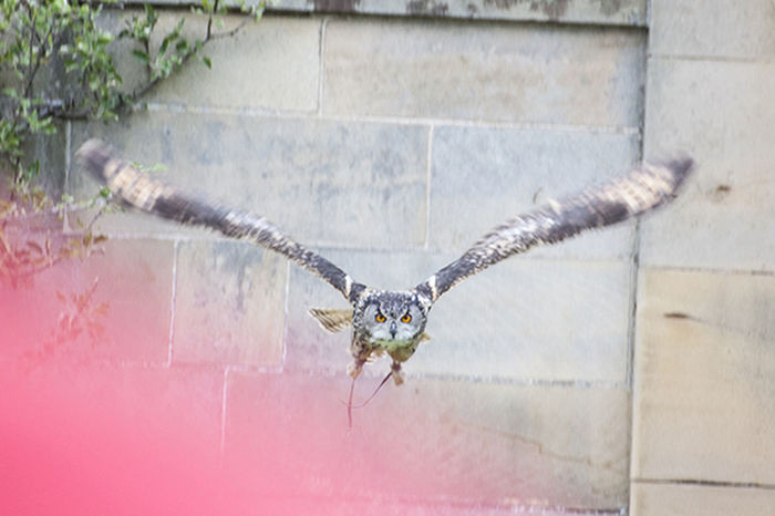 Bird Show Birds Of Prey Creatures Elegant Falconry Display Falcons Flying Bird Owl