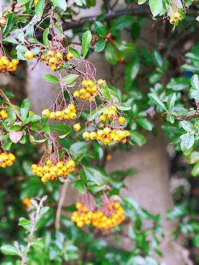 Berrys in my garden