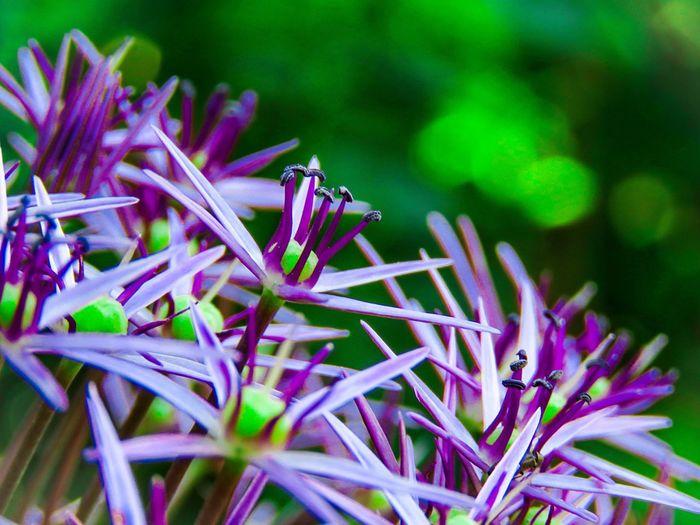 Close-up of allium flower growing outdoors