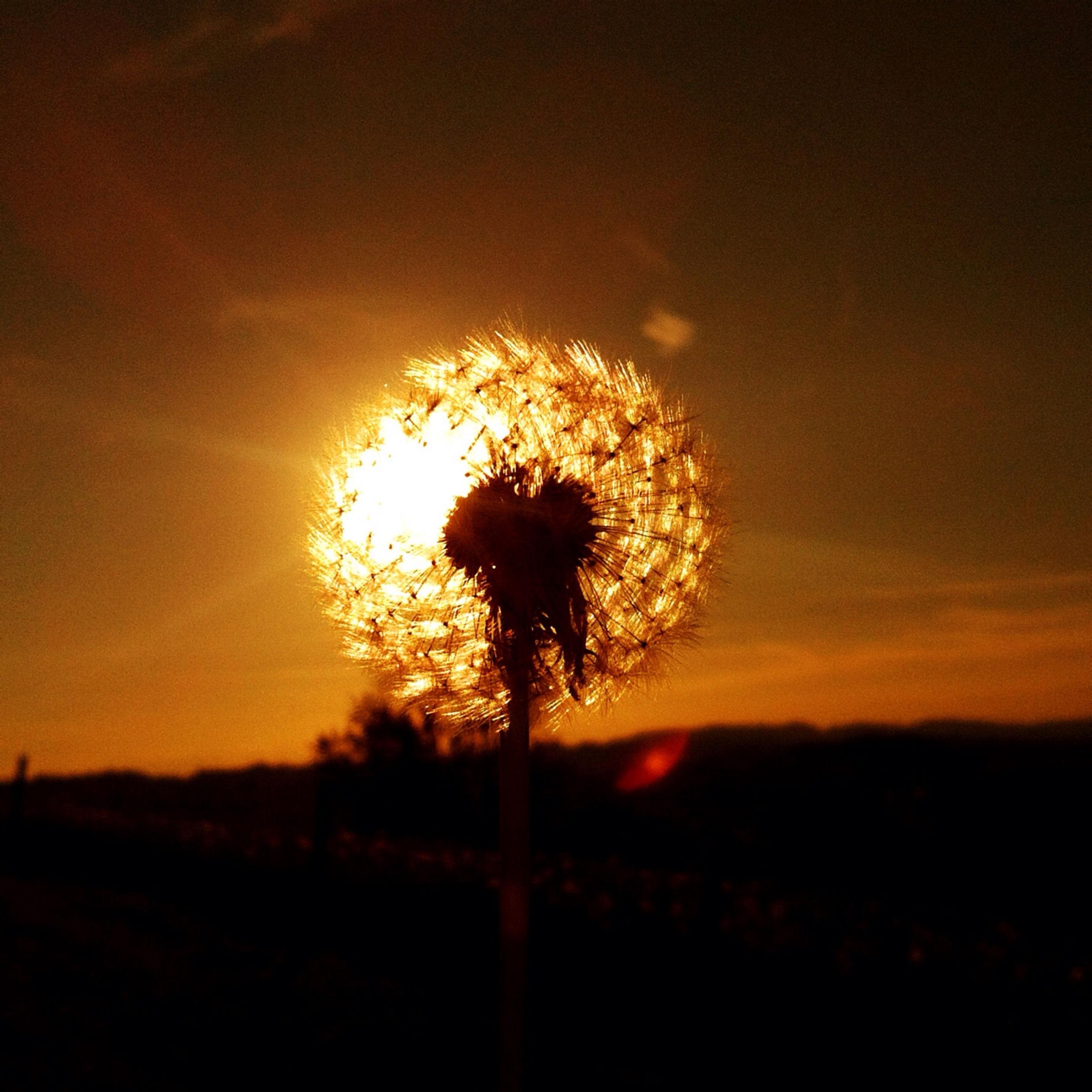 sunset, flower, silhouette, beauty in nature, sky, dandelion, growth, nature, tranquility, fragility, field, plant, flower head, orange color, stem, sun, scenics, tranquil scene, single flower, outdoors