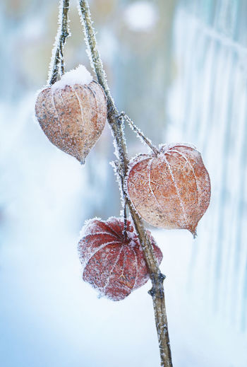Close-up of frozen fruit hanging on tree