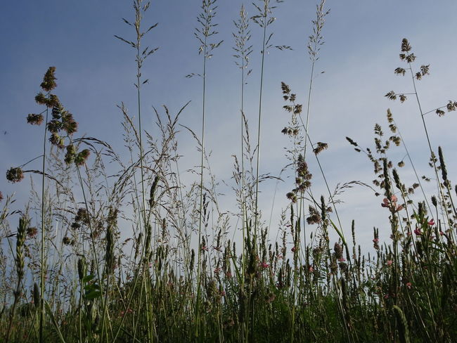 Beauty In Nature Close-up Day Environment Field Flower Flowering Plant Grass Growth Land Nature No People Non-urban Scene Outdoors Plant Plant Stem Scenics - Nature Sky Timothy Grass Tranquil Scene Tranquility