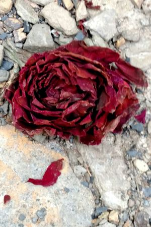 Red Rose Beauty In Decay Dying Rose The Purist (no Edit, No Filter) Art In Nature Beauty Redefined Beauty Is In The Eye Of The Beholder Beauty Of Decay Beauty In Odd Places Beauty Redifined