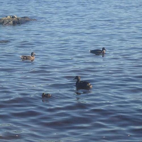 Ducks Ankat Patos Canards Lake Järvi Lago Lac Pyhäjärvi Viikinsaari Tampere Tamperelove Visittampere Visitfinland Finland Suomi