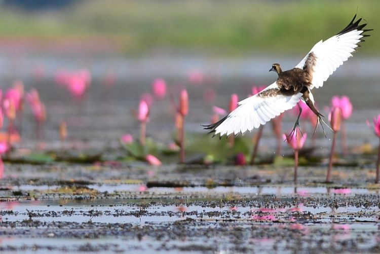 thailand lotus birding Beauty In Nature Selective Focus Flowering Plant Pink Color Flower Motion No People Nature Vertebrate One Animal Animal Themes Mid-air Animal Wildlife Animal Spread Wings Water Day Bird Animals In The Wild Flying Outdoors Animal Wing Flapping