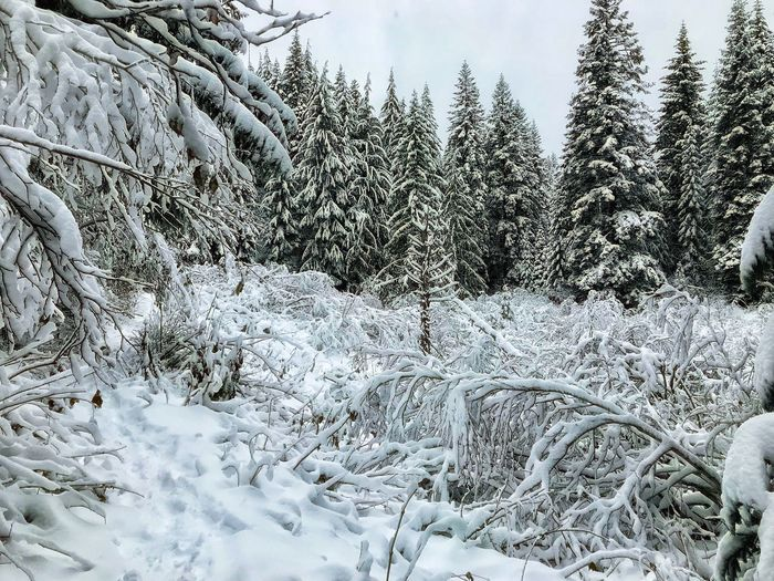 Winter Cold Temperature Snow Nature Weather Tree White Color Beauty In Nature Tranquility No People Frozen Tranquil Scene Outdoors Pine Tree Field Day Landscape Scenics Spruce Tree Sky