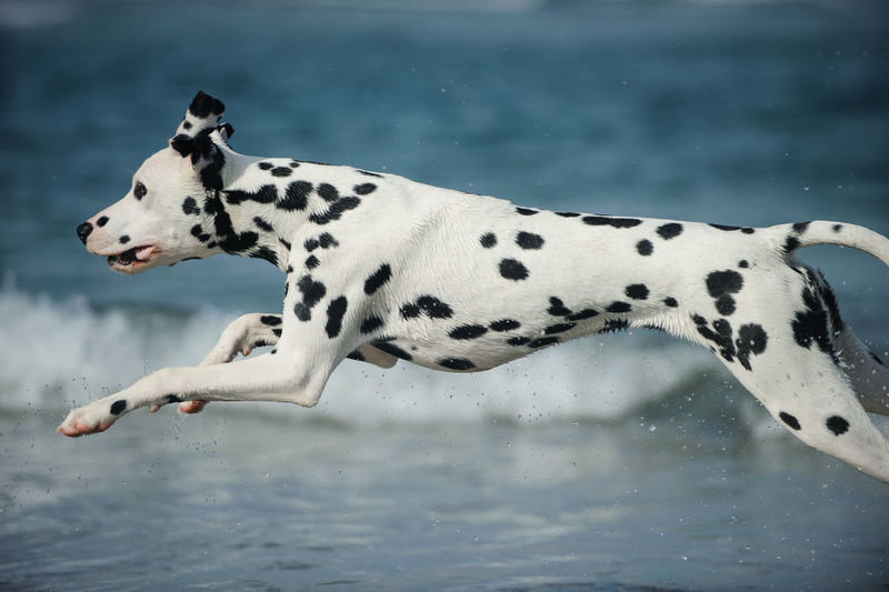 Dalmatian dog Dog Pets Canine Animal Themes Animal Dalmatian Dog Domestic Animals Spotted Day No People Outdoors Profile View One Animal Dalmatian Running Action Purebred Dog